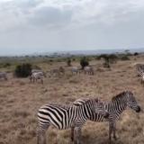 ケニアのシマウマ